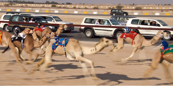 Экстремальный спорт на верблюдах