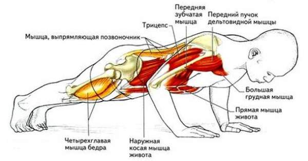 Какие мышцы задействуются при выполнении отжиманий
